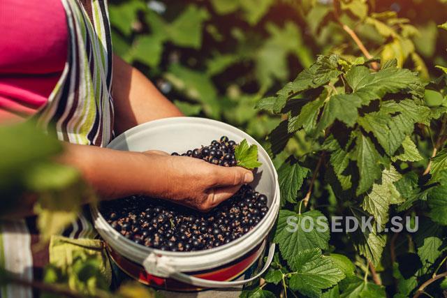 Подкормка смородины после сбора урожая. Чем подкармливать