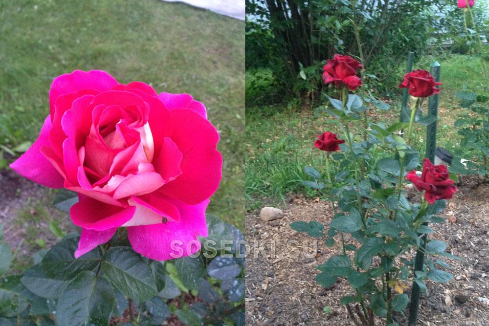 Мои розы 2019: Роза чайно-гибридная Шакира и Роза чайно-гибридная Блэк баккара (ФОТО)