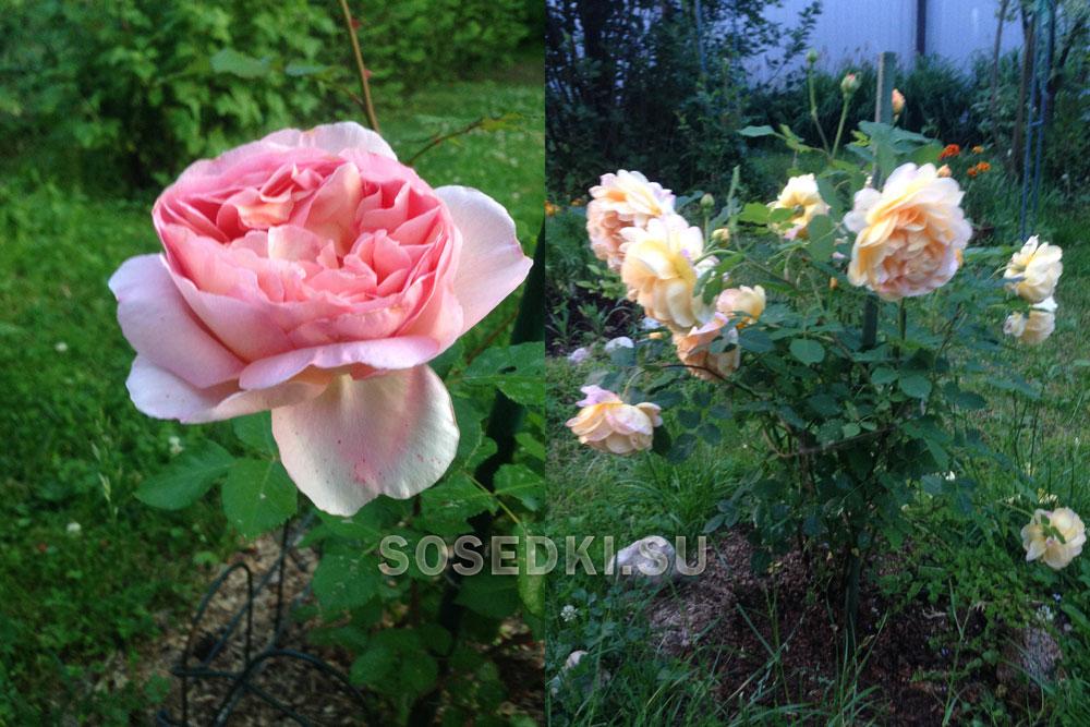 Мои розы в саду: Английская роза Девида Остина и  Роза Голден Селебрейшен  (ФОТО)
