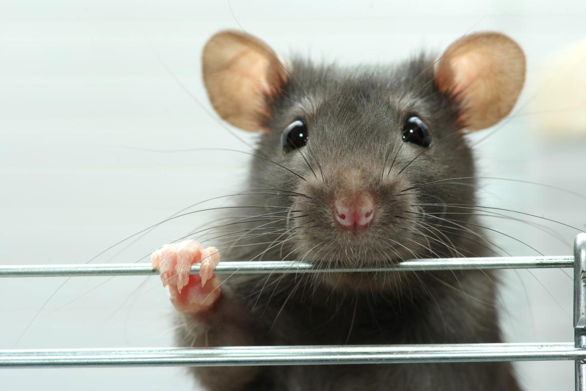 крысы фото на рабочий стол снеговик
