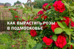 как вырастить розы в подмосковье