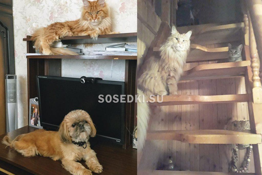мейн кун рыжий фото с котенком