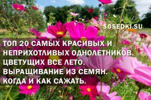 самые красивые цветы однолетники для сада неприхотливые долгоцветущие
