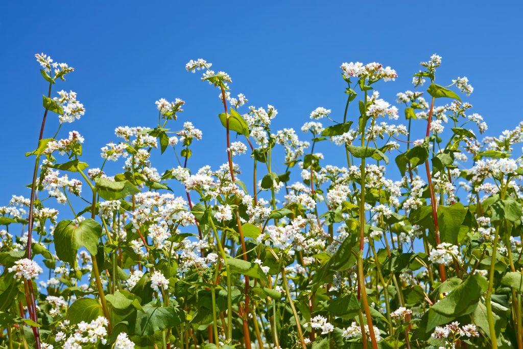 гречка растение фото