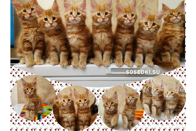 котята мейн кун рыжие фото