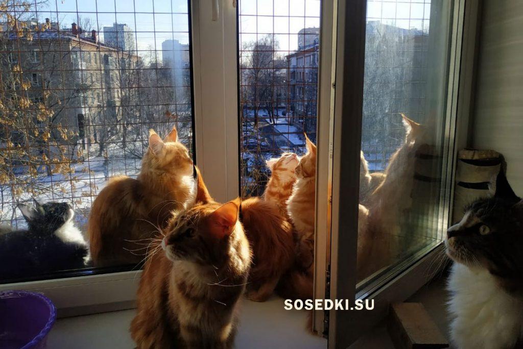 питомник мейн кунов в москве и московской области