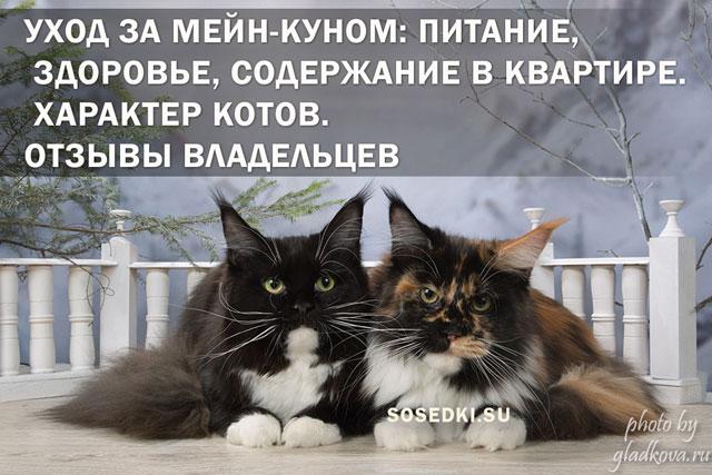 Уход за мейн-куном: питание, здоровье, содержание в квартире. Характер котов. Отзывы владельцев (ФОТО) питомник мейн кунов в москве и московской области