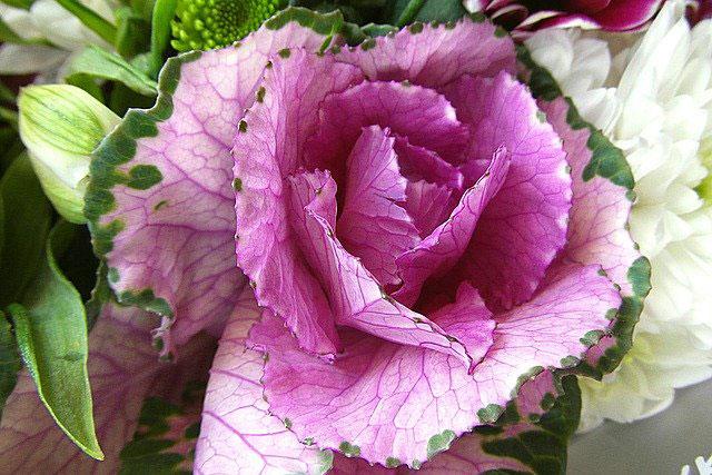 Декоративная капуста. Выращивание и уход. Фото