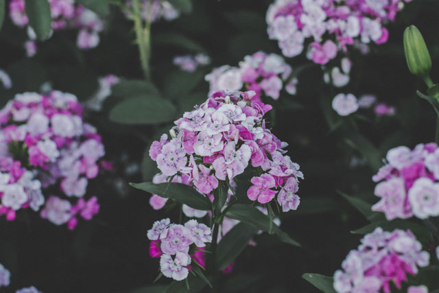 Флокс Друммонда. Выращивание из семян. Когда сажать на рассаду. Фото